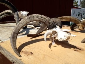 Who Wants a Sheep Skull?