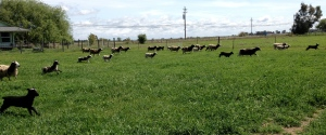 Free Range Lambs